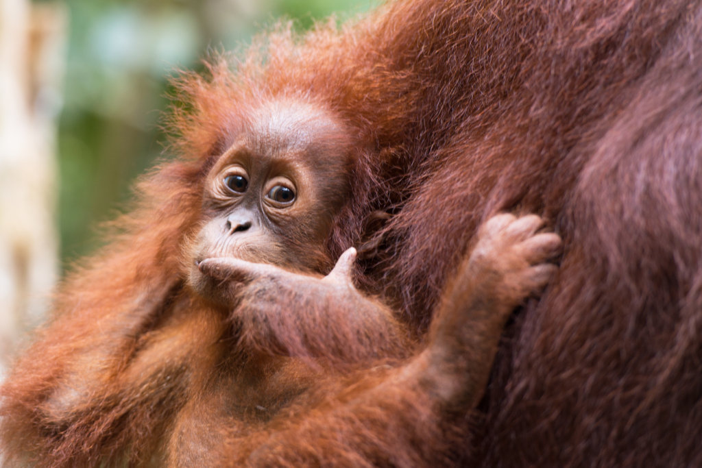 Orangutans need safe forests