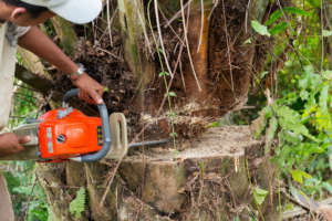 Chainsawing illegal oil palms to reclaim habitat