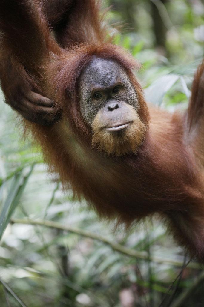 Orangutans need trees!