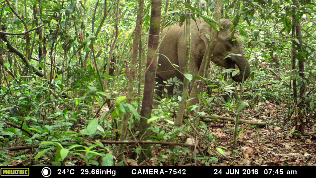 Sumatran Elephant in the restoration site