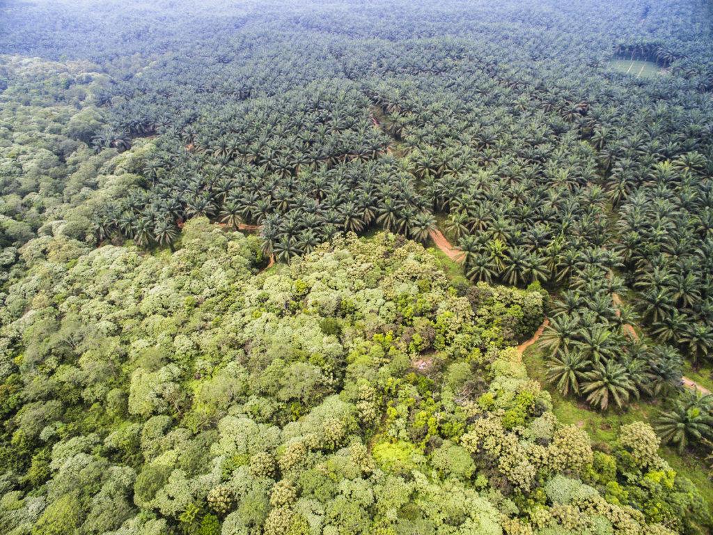 Oil palm plantation expanding into rainforest