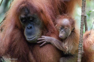These orangutans need a safe rainforest home.