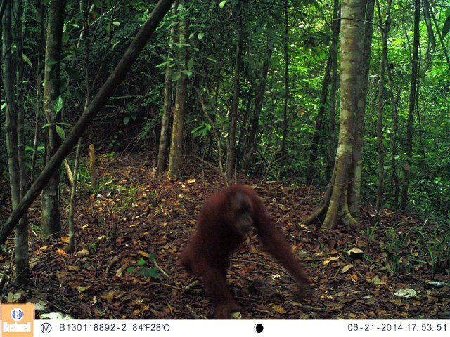Orangutan caught on camera