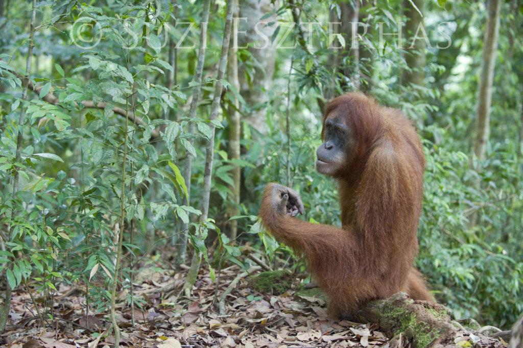 Orangutan in new forest