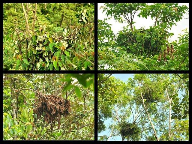 Orangutan nests in Besitang