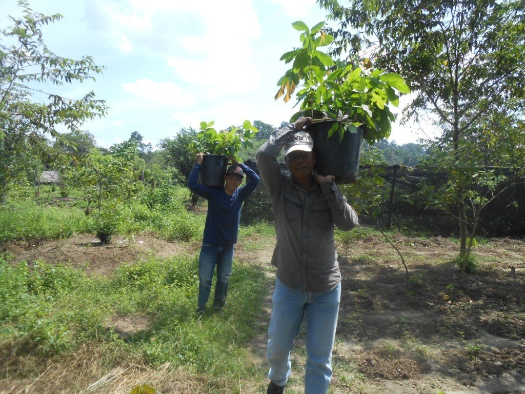 carrying the seedlings to the replanting site