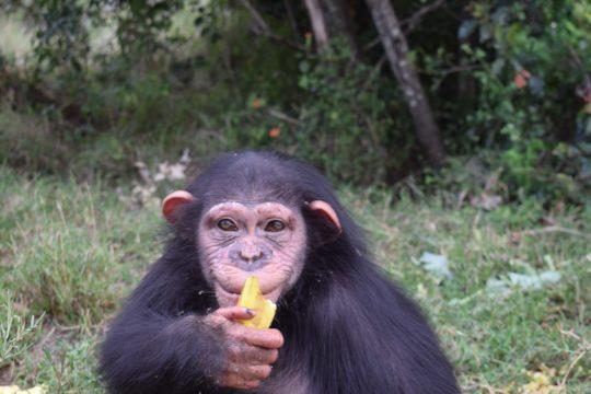 Help Baran, a four-year-old Chimpanzee!