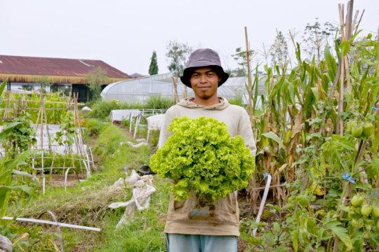 Fresh green salads harvested on the farm