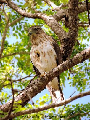 B-44 the first Ridgways hawk to hatch in Puntacana