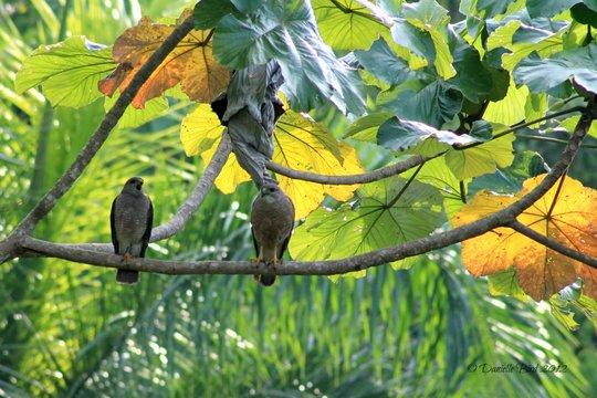 Adult hawks in Los Haitises National Park