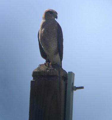 Ridgway's hawk @ Puntacana  Photo by Gabriela Diaz