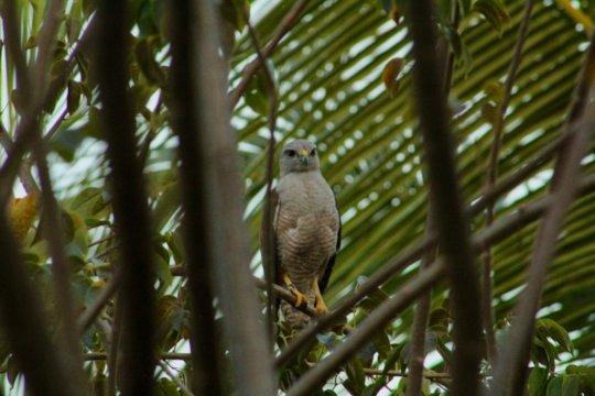 Ridgway's hawk - Photo by Alejandro Rosendo