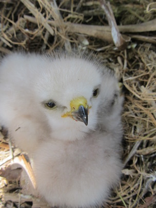 Chick in its nest in Los Haitises