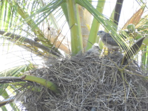 The first Ridgway's Hawk nest of the season 2017