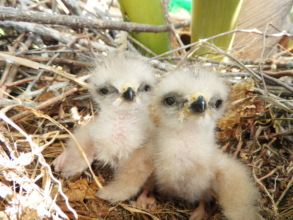 Nestlings at only 1-2 days old in Puntacana Resort