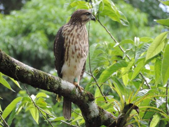 Monitored Hawk