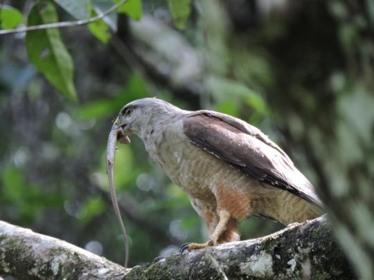 Monitored Hawk 3