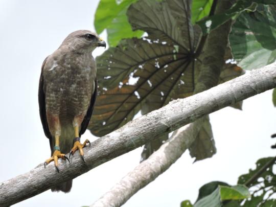 Monitored Hawk 2