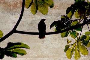 Ridgeway's Hawk in Los Haitises