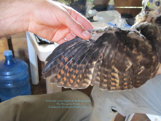 Inspecting the Hawk for any injuries or illnesses