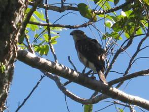 Male Hawk AX