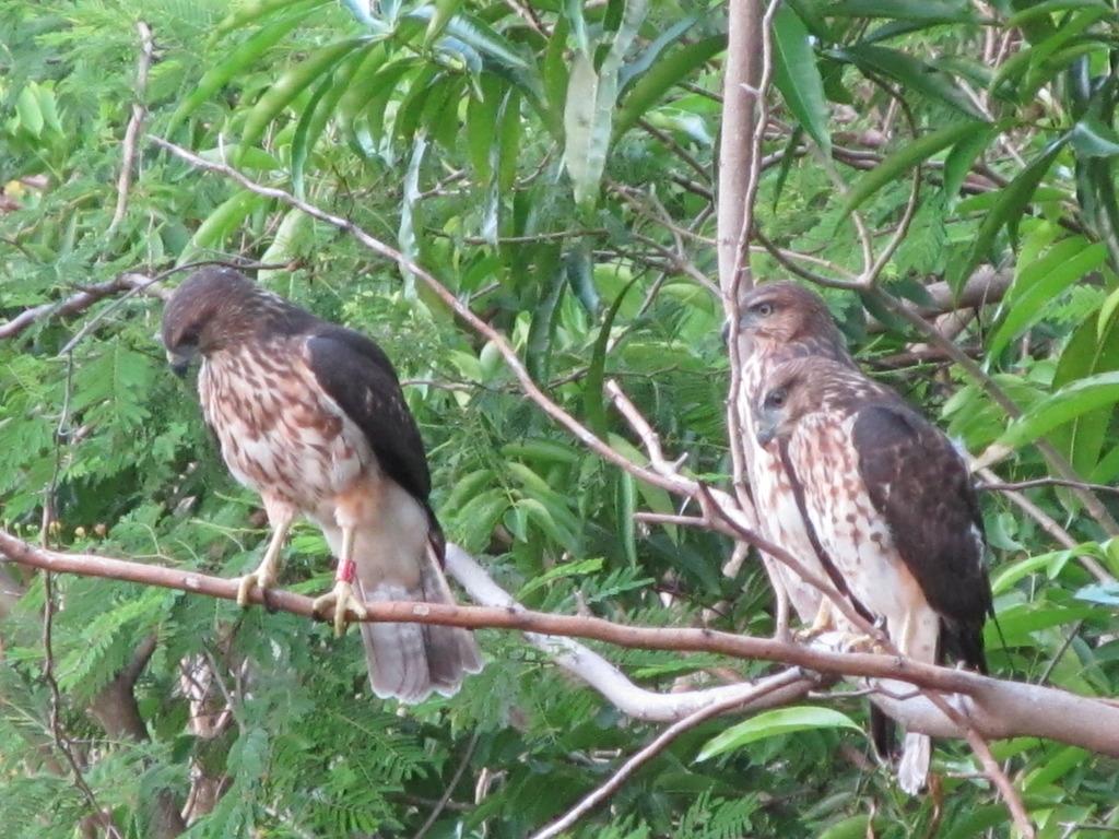 3 of the 2012 hawks courtesy of Thomas Hayes