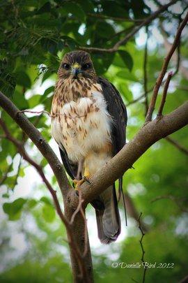 Newly reintroduced hawk NX
