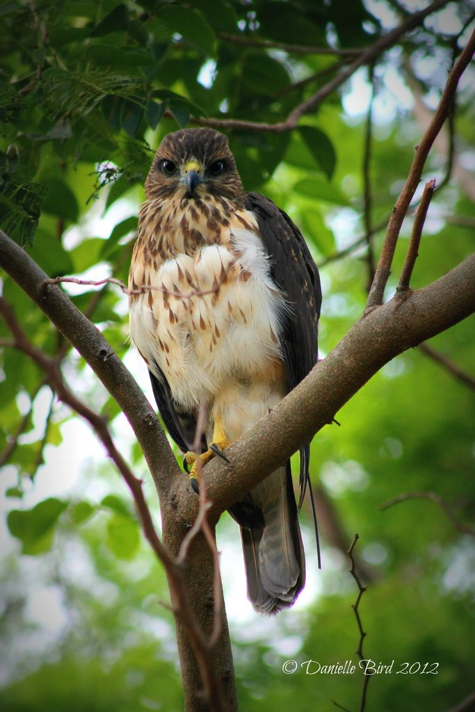 Newly reintroduced hawk NX