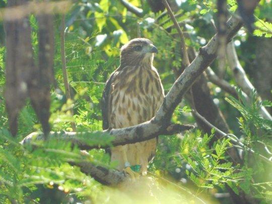 Ridgway's Hawk at Puntacana 1