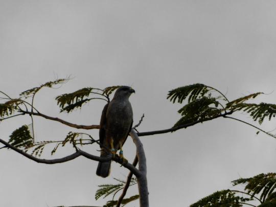 Ridgway's Hawk at Puntacana Resort & Club