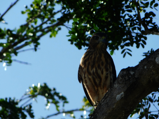 Ridgway's Hawk at Puntacana Resort & Club 2