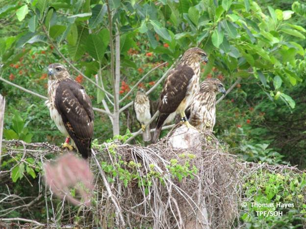 The first 4 hawks released in