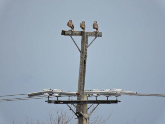 Trio of Ridgway's Hawks