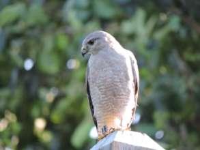 Male Ridgway's Hawk