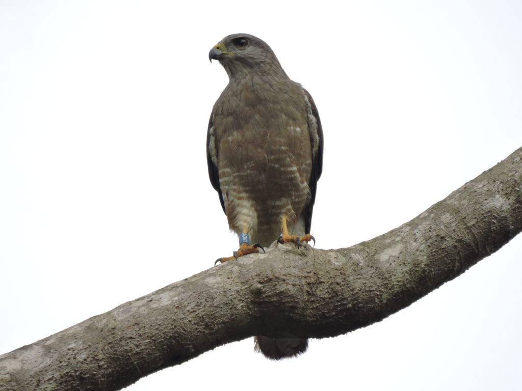 Ridgway Hawk at the Punta Cana area.