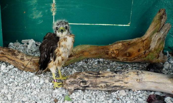 Conserving the Ridgway's Hawk in Punta Cana, DR