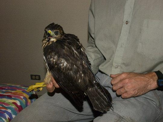 Juvenile hawk prior to reintroduction