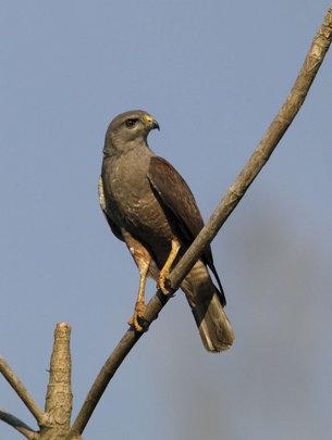 Male adult hawk