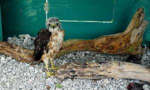 Juvenile hawk in hacking box
