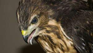 Juvenile Ridgway Hawk