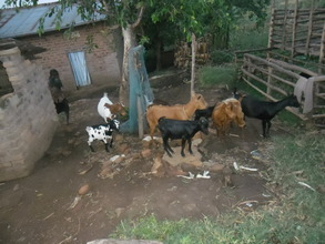 The goats that manipulated