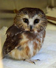 Northern Saw-Whet Owl attached by cat