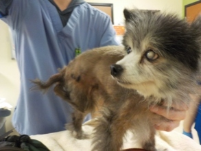 Stray abandoned elderly Pomeranian