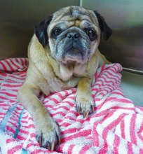 Hannah, a blind stray Pug was brought to DoveLewis