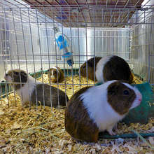 Nine abandoned Guinea Pigs brought to DoveLewis