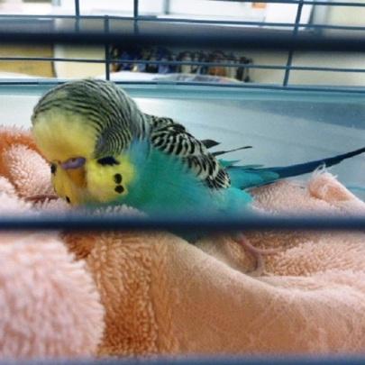 Stray Parakeet brought to DoveLewis
