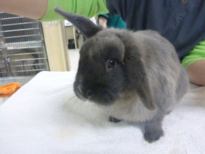 Stray rabbit found and brought to DoveLewis