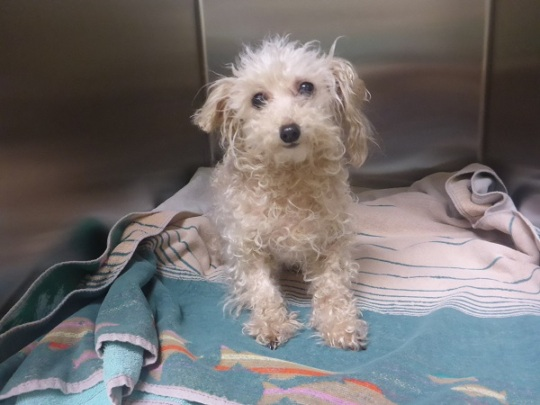 Stray female Maltese mix dog brought to DoveLewis