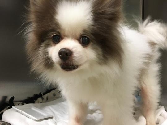 Stray Papillion/Pomeranian mix dog