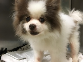 Stray Papillion/Pomeranian mix dog